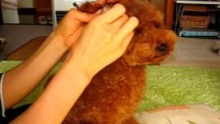 抜いた耳毛の臭いを嗅ぐのが好きな愛犬トフィー。 トイプーブログ『トフ...