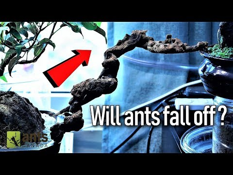 Ants Crossing a Suspended Ant Bridge
