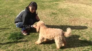 ミディアムプードル 子犬 2015年3月14日生まれ.