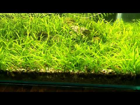 Shallow tank full of Sagittaria subulata