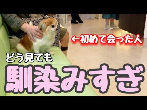 【無償の愛】今会ったばかりの人を大好きになってしまう情が深すぎるチワワ【かわいい犬】【chihuahua】【cute dog】【ペット動画】
