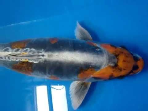 20 kikokuryu koi fish youtube for Koi youtube