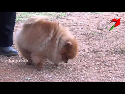 the-pomeranian-is-a-breed-of-dog-of-the-spitz-type