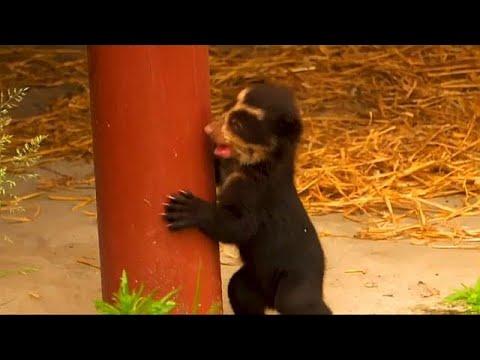 صغير الدب المقنع المعرض للانقراض يظهر للمرة الأولى ببلجيكا …  - نشر قبل 6 ساعة