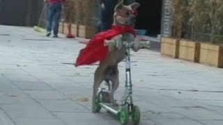 Dog in China drives scooters, skateboards and bicycles!