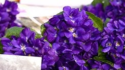 Provence : c'est la saison de la violette !