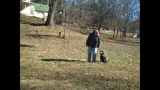 How To Stop Your Labrador Retrievers Dog From Pulling