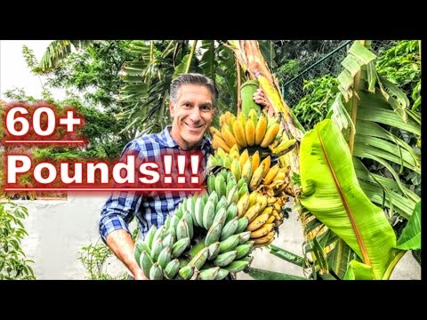 BANANAS... AFTER 9 MONTHS!!! |  HARVESTING | PRUNING | FEEDI