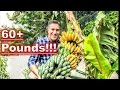 BANANAS... AFTER 9 MONTHS!!!    HARVESTING   PRUNING   FEEDING    PROPAGATING   RECYCLING