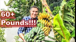 BANANAS... AFTER 9 MONTHS!!! |  HARVESTING | PRUNING | FEEDING |  PROPAGATING | RECYCLING