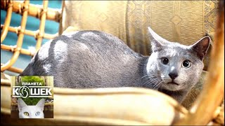 Русская голубая. Планета кошек