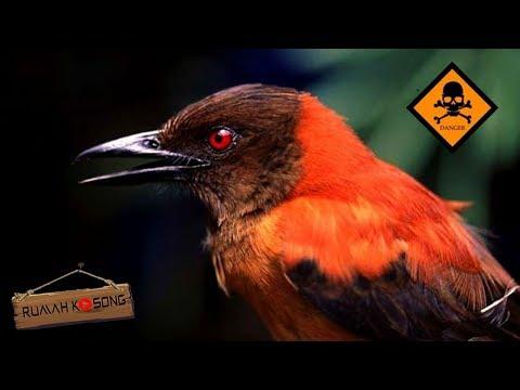 Hati-Hati Dengan Burung Ini..! 5 BURUNG BERBAHAYA DI DUNIA