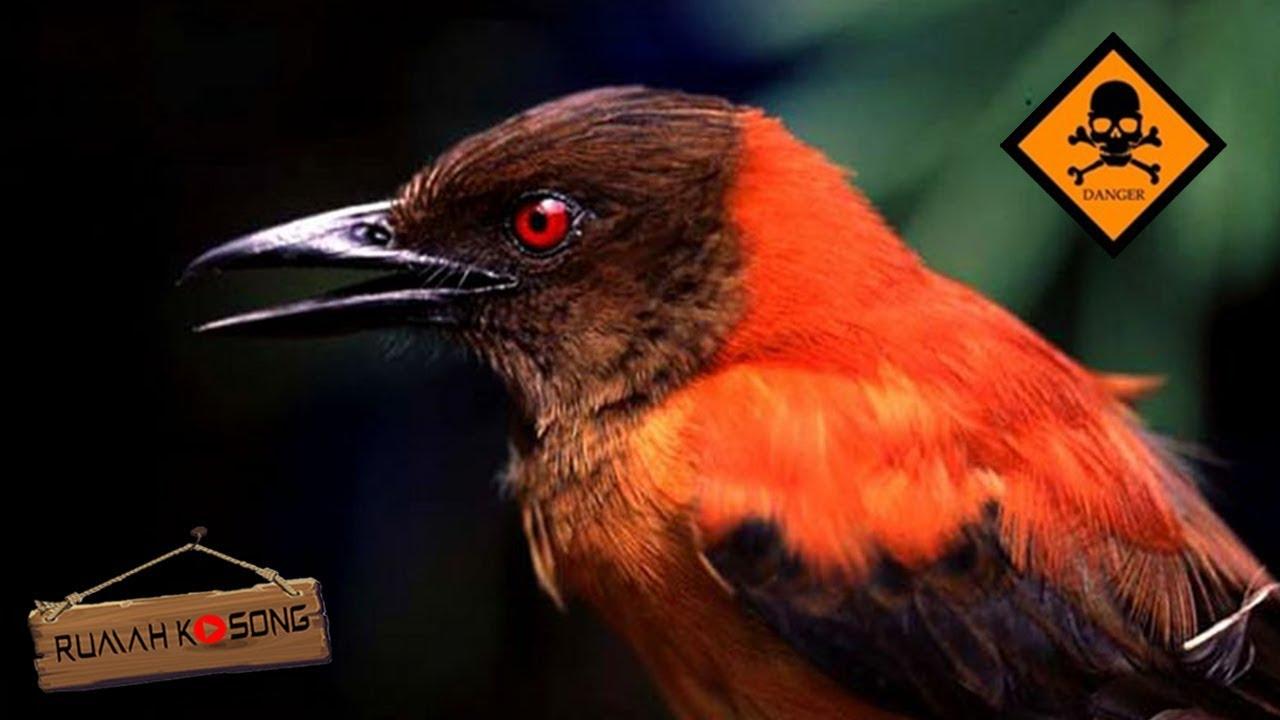 Hati Hati Dengan Burung Ini 5 Burung Berbahaya Di Dunia Youtube