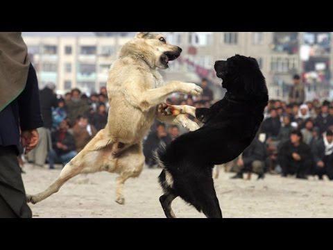 dog fighting and barking very loud |  Perro peleando y ladrando muy fuerte