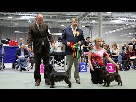 European Dog Show in Oslo, 4 6 September 2015. Cairn Terrier.