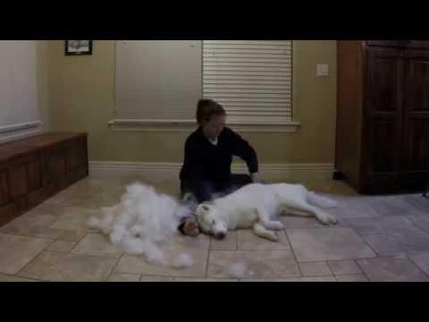 Combing Our Siberian Husky Kodi