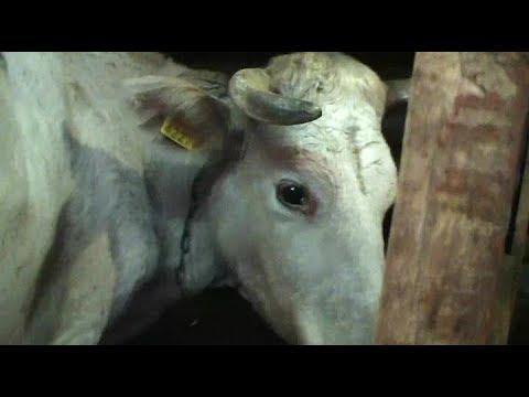 Как узнать что корова стельная