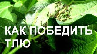 видео Тля на яблоне: как бороться, признаки, виды тли