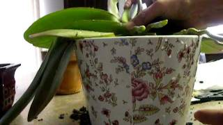 ORCHID CARE: Repotting Big White Phal -3. Nov 20 2011 Examinig the  roots.