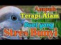 Terapi Manjur Buat Perkutut Yang Stres Bunyi Jernih  Mp3 - Mp4 Download