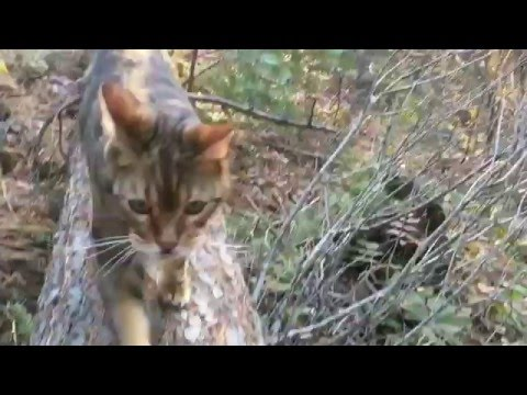 Cute Bengal Cats Playing in the Forest - Funny Cat Video