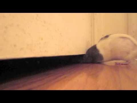 Pet Rat Squeezing Under Door Youtube