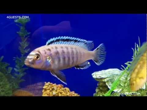 AFRICAN CICHLID FISHES ~ AGGRESSIVE, TERRITORIAL