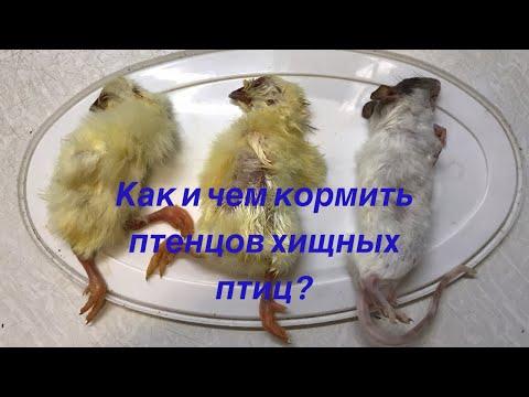 Чем кормить птенца сокола в домашних условиях
