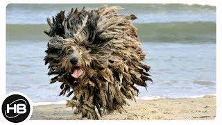 Самые редкие и необычные породы собак в мире