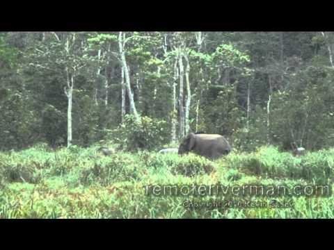 Remote River Man - Wild forest elephants in Gabon