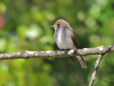 Grauschnäpper (Muscicapa striata) - Spotted Flycatcher