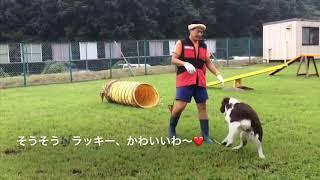 E・スプリンガー・スパニエルのラッキーくんの奮闘記です(笑) いつも楽...