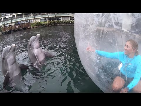 DOLPHINS Respond To GIANT ZORB BALL During Enriching Play Session - Dolphin Quest Oahu