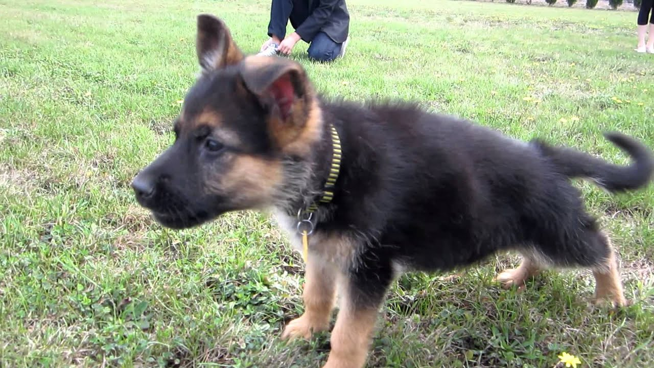 Small Dogs That Look Like German Shepherds