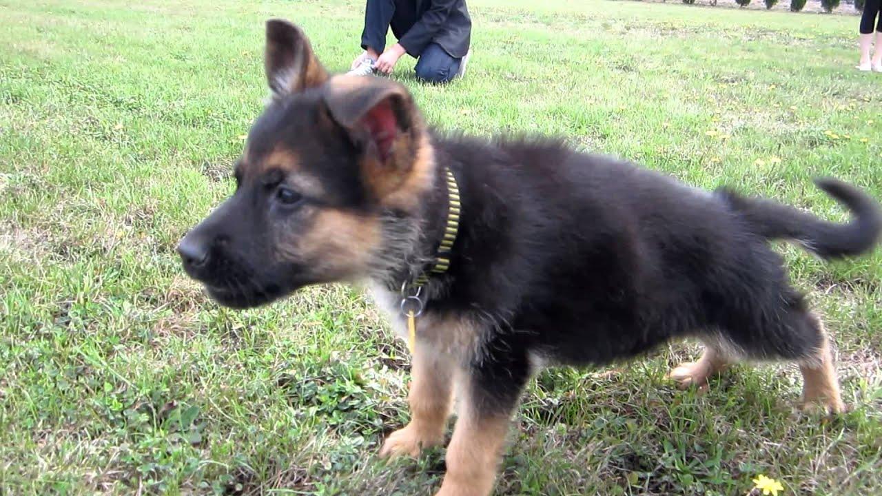 German Shepherd Puppies Pictures