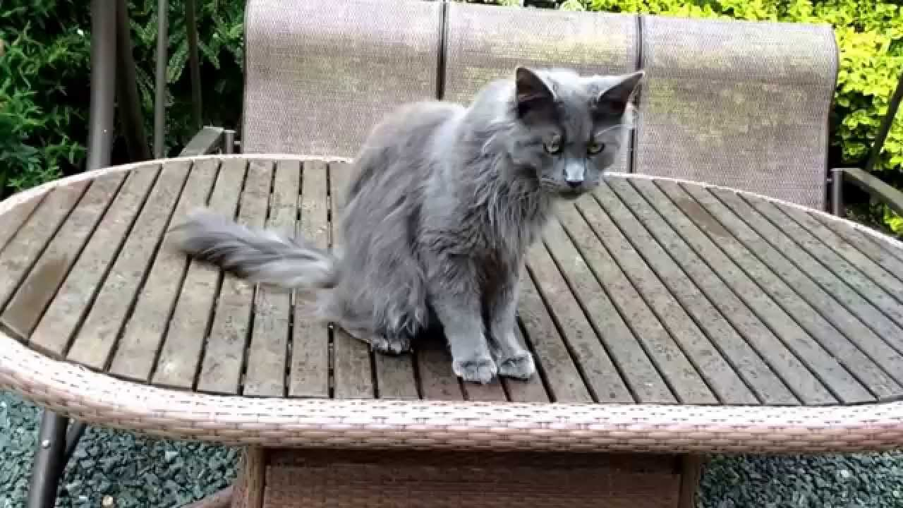 The Blue Maine Coon - Maine Coon Expert