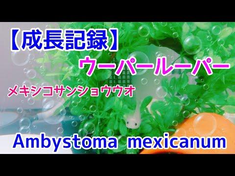 成長記録ウーパールーパーパールメキシコサンショウウオ Ambystoma mexicanum