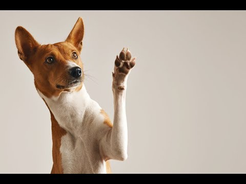 Health Concerns For Basenjis