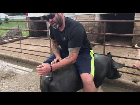 How to Breed a Gilt or Sow. Shipley Swine Genetics.
