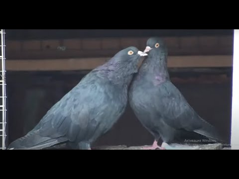Мне пока не до голубей