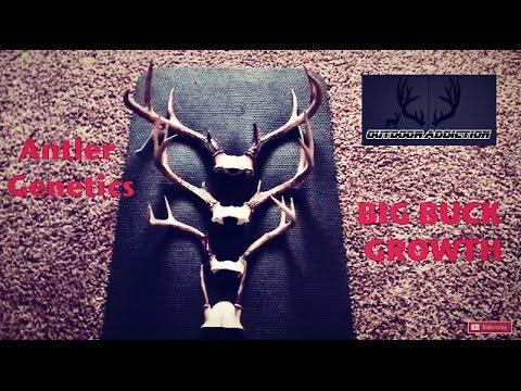 Big Buck Antler Growth: Genetic Similarities!
