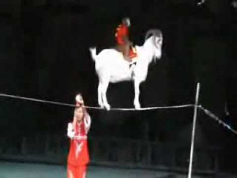 Goat And Monkey Tricks in Circus