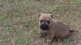 Cairn Terrier, Puppies, For, Sale, In, Raleigh, North Carolina, Nc, Lumberton, Kernersville, Mint Hi