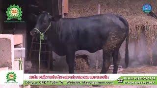 Khẩu phần thức ăn cho bê con sau khi cai sữa | Kiến thức chăn nuôi bò 3B
