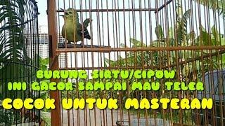 Gambar cover Masteran burung cipow/sirpu/sirtu