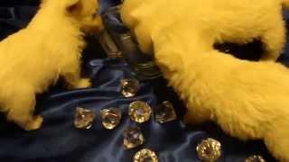Westie Pup For Sale By Cammie Phoenix Az, Zoffia Dob12 5 12 One Star Clip M4h00673