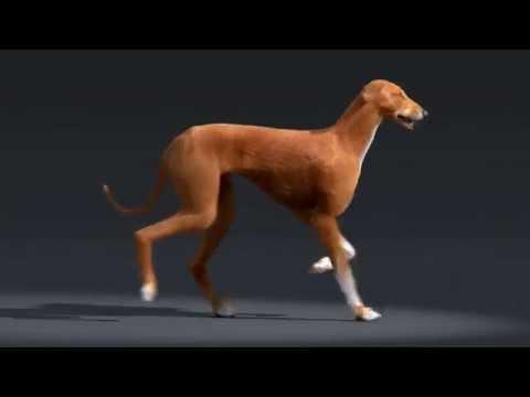 Azawakh dog walk cycle animation
