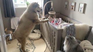 Giant Dog Wakes Baby Up Malamute Alarm Clock (Cutest Reaction!!)