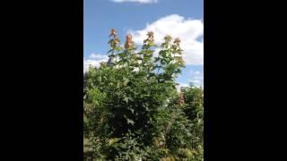 Клен Остролистный(Добрый день! Мы занимаемся выращиванием и продажей растений для ландшафтного дизайна. В ассортименте собст..., 2014-07-02T17:07:38.000Z)
