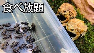 【食べ放題】ミヤコヒキガエルにコオロギ食べ放題コースをプレゼントしてみた